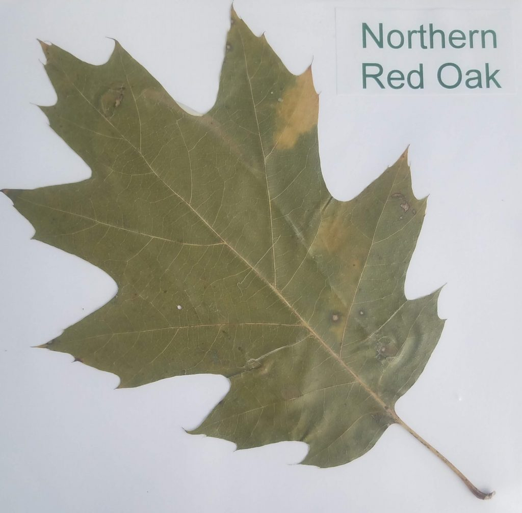 Different Types of Leaves: Northern Red Oak - Quercus rubra - Beech - Pinnate