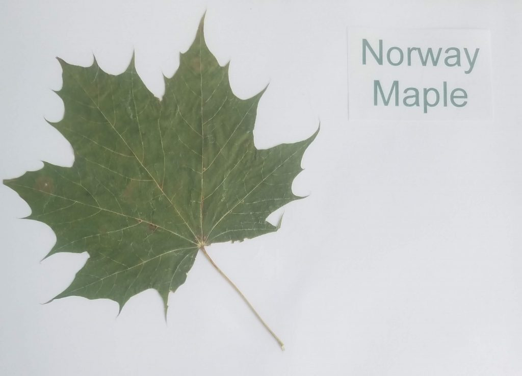 Types of Leaves Names: Norway Maple - Acer platanoides - Maple - Palmate
