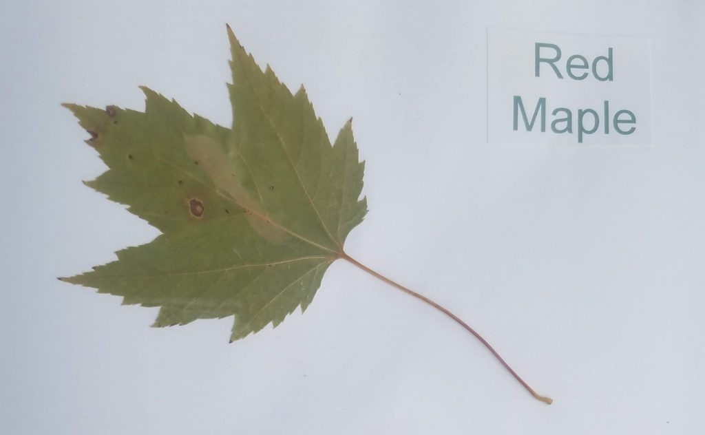 Different Types of Leaves with Names: Red Maple - Acer rubrum - Maple - Palmate