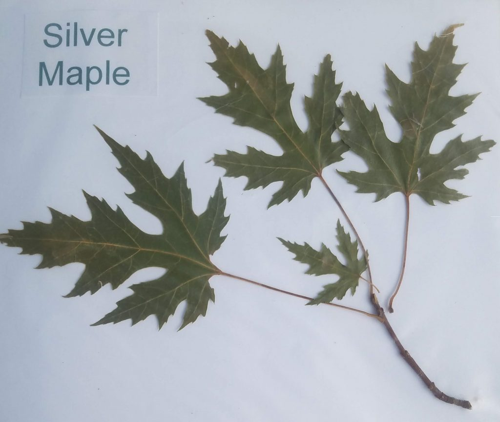 Leaf name: Silver Maple - Acer saccharinum- palmate